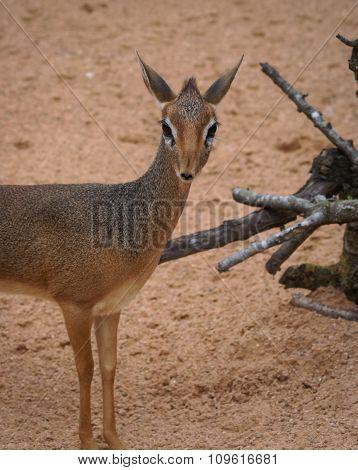 Mini Antilope Dik-dik