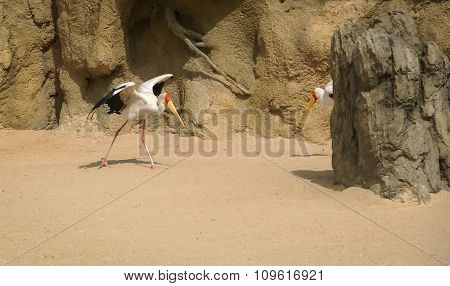 Stork, Marabou