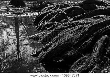 Sabine root