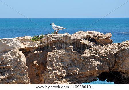 Silver Sea Gull: Indian Ocean, Cape Peron