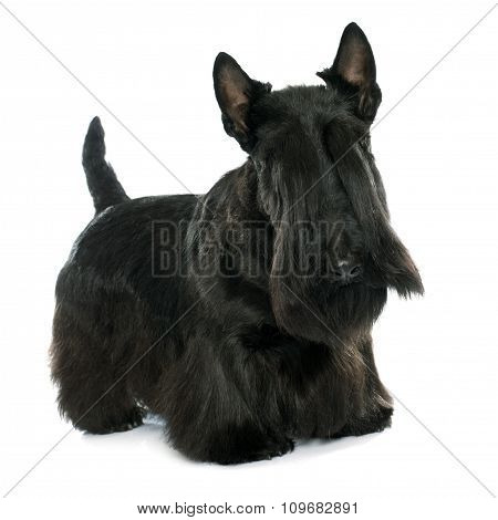 purebred scottish terrier in front of white background poster