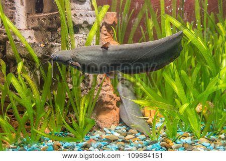 Adult Stinging Catfish Swimming In Aquarium