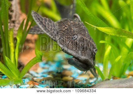 Antsitrus Fish Head Closeup