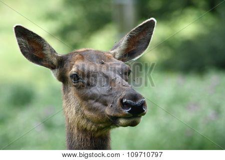 Female Elk  (cervus Canadensis)