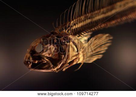 Dried Boned Fish Skeleton