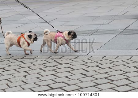 Two Pugs Walked On Lead