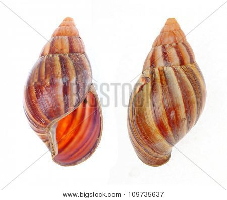 The Giant African Snail ( Achatina achatina) isolated on white background.