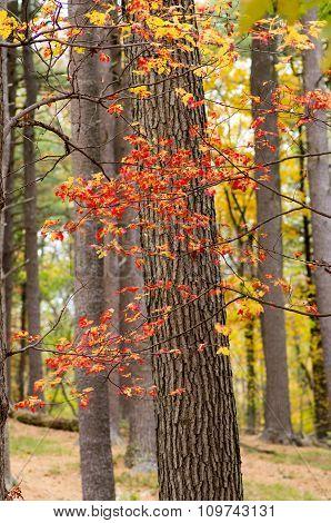 Fall leaves on vine around tree