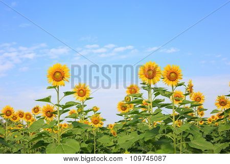 Sunflower against blue sky