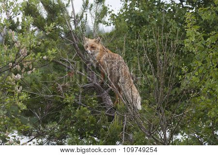 climbing fox