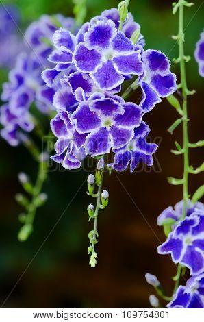 Duranta Geisha Girl Flowers