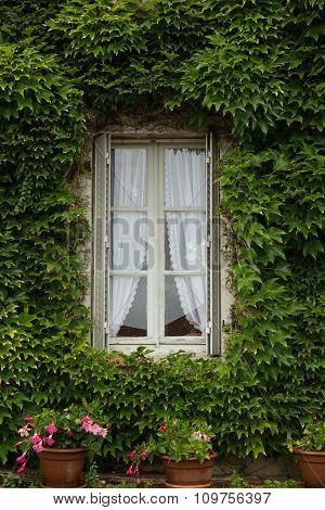 vine covered window
