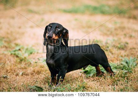 Black Dachshund Dog play outdoors