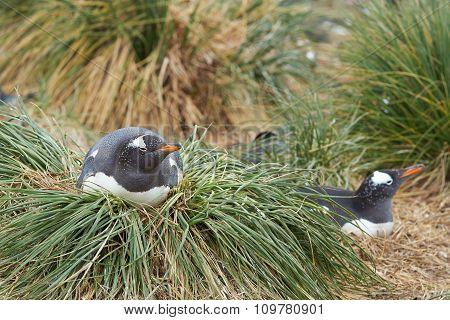 Gentoo Penguin Nesting