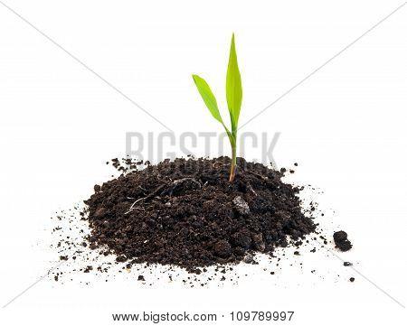 Corn Seedling