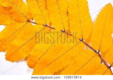 Autumn Rowan Tree Leaf As Background.