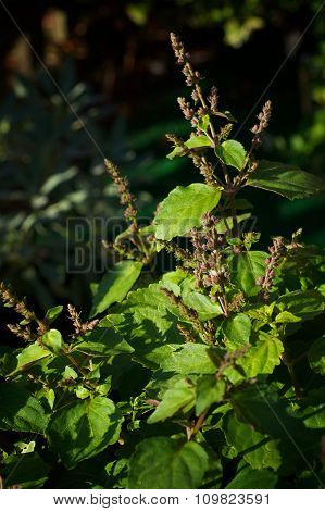 Patchouli Plant With Flowers