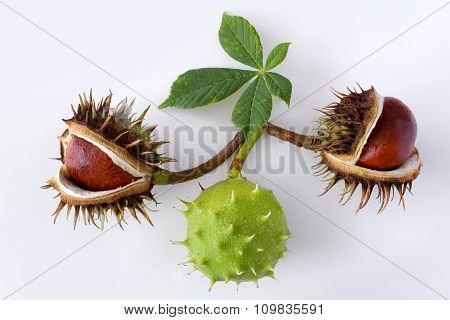 Aesculus hippocastanum / Common Horse Chestnut on white background