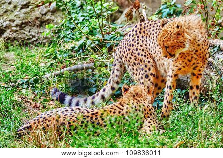 Couple Of Cheetah (acinonyx Jubatus) Is A Big Cat In The Subfamily Felinae That Inhabits Most Of Afr