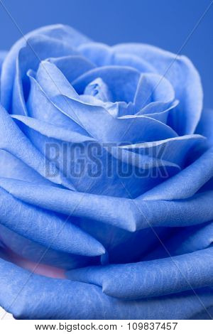blue rose on magenta background