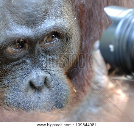 Orangutan Looks In The Camera. A Portrait Of The Young Orangutan On A Nickname Ben. Close Up At A Sh