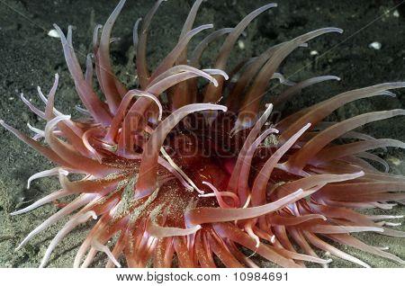 Sand Rose Anemone