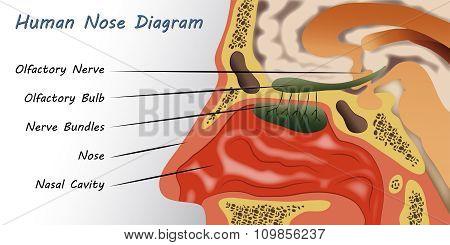 Human Nose Diagram