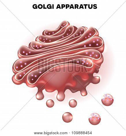 Golgi apparatus a part of the eukaryotic cell. Detailed illustration poster