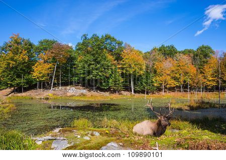 The red deer with branchy horns has a rest on a hillock at the lake. Small overgrown lilies lake in the autumn park
