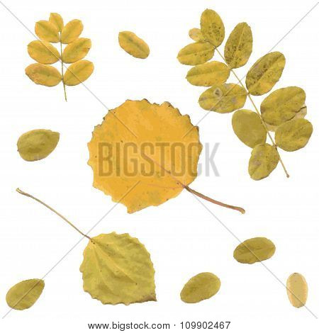 Autumn rowan, birch or Betula, aspen or Populus tremula leaves