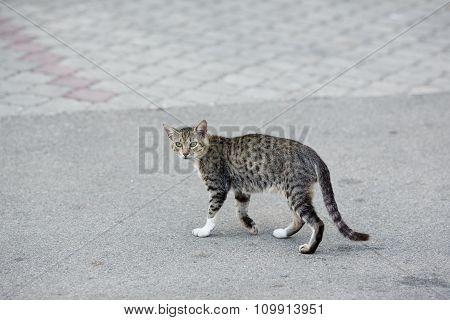 Grey Cat Crossing The Road Street.