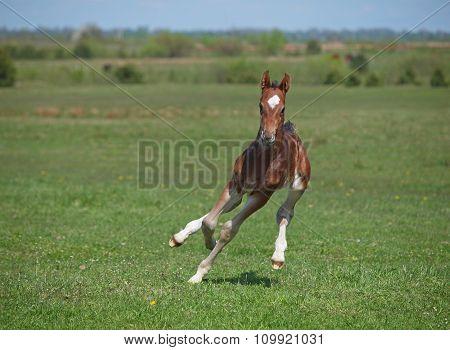 Beautiful little bay foal galloping