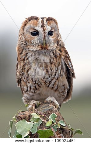 Tawny Owl (Strix Aluco) perched on an ivy covered stump poster