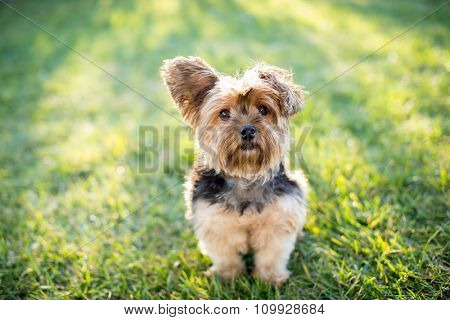 Cute little yorkshire terrier dog outside in the grass