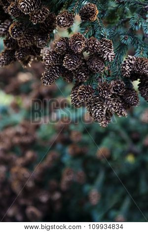 Array Of Pine Cones On Branch In Right Corner