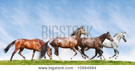 a herd of purepred stallions in summer field poster