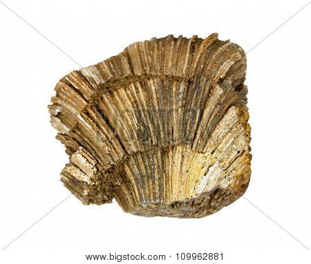 Very beautiful fossilized sea sponge
