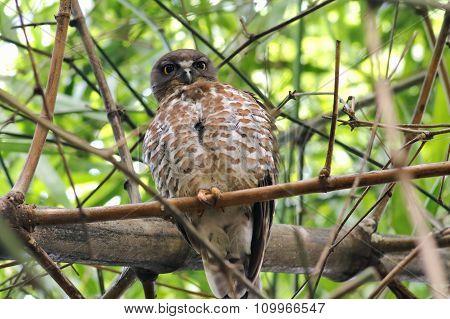 Brown Hawk-owl Boobook Ninox Scutulata Birds Of Thailand