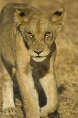 Walking lion in Mikumi National Park Tanzania poster
