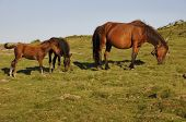 One female horse with her two foals in a meadow poster