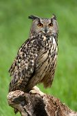 Eagle Owl (Bubo Bubo) perched on tree stump poster