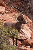 Desert Big Horn Ram Sheep in Utahs Zion National Park poster