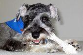 salt and pepper schnauzer dog eating his bone poster