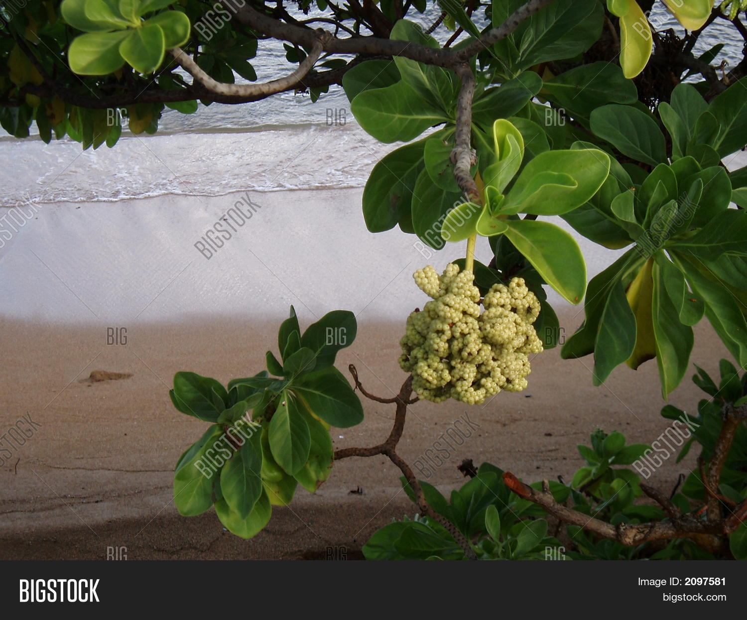 Flowering tree on image photo free trial bigstock flowering tree on hawaiian beach izmirmasajfo