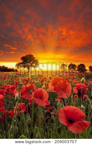 Red sky sunset over a field of poppies