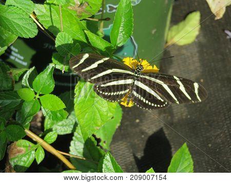 a beautiful zebra longwing butterfly on plant