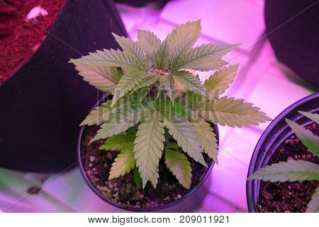 Young indoor indica plant in a pot with soil