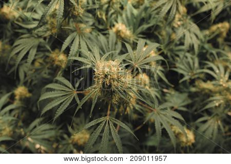 Overhead top down view of indoor medical marijuana flower complete with white and amber-orange pistils.