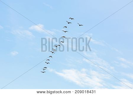 flock of cormorants fly over the blue sky