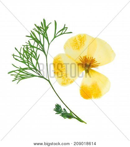 Pressed and dried delicate yellow flowers eschscholzia (eschscholzia Californica California poppy). Isolated on white background. For use in scrapbooking floristry or herbarium.